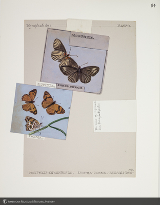 http://lbry-web-002.amnh.org/san/to_upload/titianbutterflies/b1083009_93.jpg