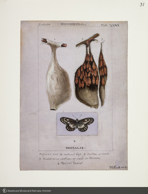 http://lbry-web-002.amnh.org/san/to_upload/titianbutterflies/b1083009_34.jpg