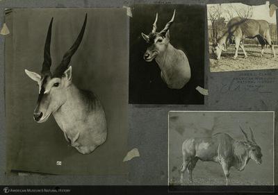http://lbry-web-002.amnh.org/san/mo_exhibition/ppc_533_b01_f019_006.jpg