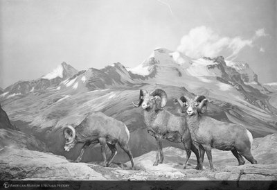 http://images.library.amnh.org/d/t/8x10/0001/00318654_l.jpg