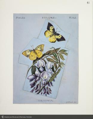 http://lbry-web-002.amnh.org/san/to_upload/titianbutterflies/b1083009_44.jpg
