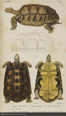 http://lbry-web-002.amnh.org/san/naturalhistories/b10464177_1.jpg