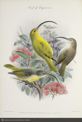 http://lbry-web-002.amnh.org/san/to_upload/extraordinarybirds/b10595077_3.jpg