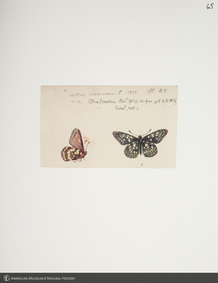 http://lbry-web-002.amnh.org/san/to_upload/titianbutterflies/b1083009_72.jpg