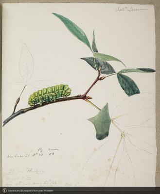 http://lbry-web-002.amnh.org/san/to_upload/titianbutterflies/b1179161_101.jpg