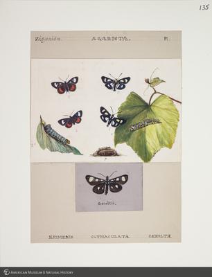 http://lbry-web-002.amnh.org/san/to_upload/titianbutterflies/b1083009_137.jpg