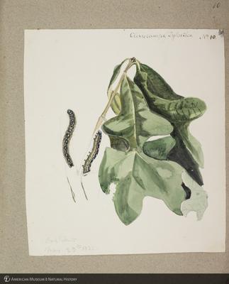 http://lbry-web-002.amnh.org/san/to_upload/titianbutterflies/b1179161_75.jpg