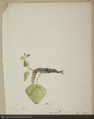 http://lbry-web-002.amnh.org/san/to_upload/titianbutterflies/b1179161_158.jpg