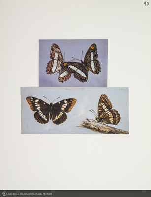 http://lbry-web-002.amnh.org/san/to_upload/titianbutterflies/b1083009_102.jpg
