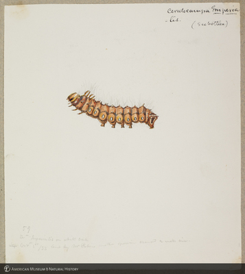 http://lbry-web-002.amnh.org/san/to_upload/titianbutterflies/b1179161_134.jpg