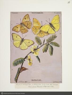 http://lbry-web-002.amnh.org/san/to_upload/titianbutterflies/b1083009_40.jpg