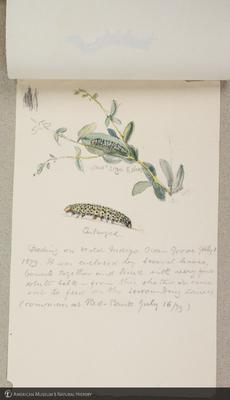 http://lbry-web-002.amnh.org/san/to_upload/titianbutterflies/b1179161_129.jpg