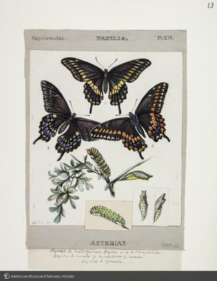 http://lbry-web-002.amnh.org/san/to_upload/titianbutterflies/b1083009_12.jpg
