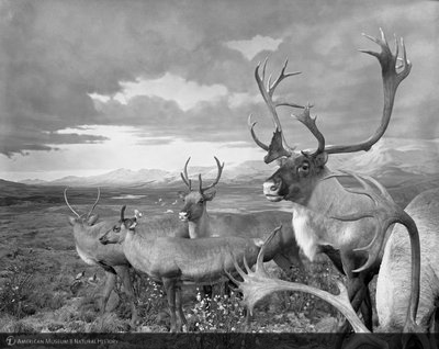 http://images.library.amnh.org/d/t/8x10/0001/00318710_l.jpg