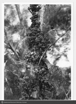 http://lbry-web-002.amnh.org/san/to_upload/Beck-PapuaNewGuinea/NG-5x7-prints/115753.jpg