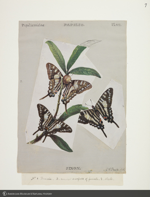 http://lbry-web-002.amnh.org/san/to_upload/titianbutterflies/b1083009_6.jpg