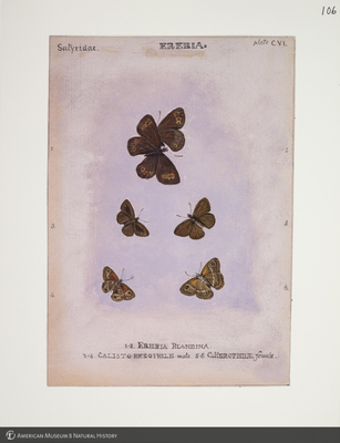 http://lbry-web-002.amnh.org/san/to_upload/titianbutterflies/b1083009_117.jpg