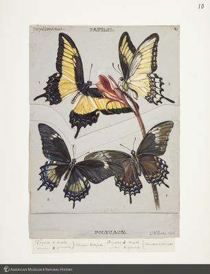 http://lbry-web-002.amnh.org/san/to_upload/titianbutterflies/b1083009_9.jpg