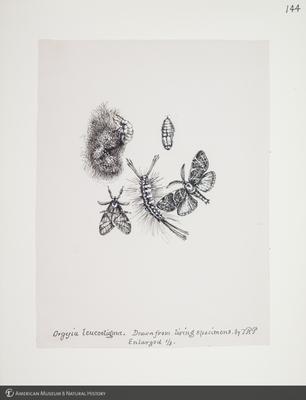 http://lbry-web-002.amnh.org/san/to_upload/titianbutterflies/b1083009_148.jpg