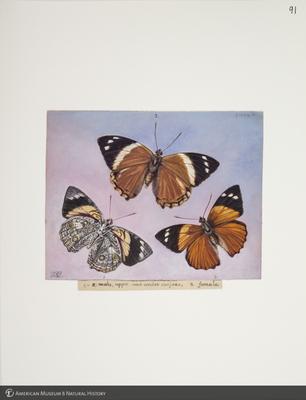http://lbry-web-002.amnh.org/san/to_upload/titianbutterflies/b1083009_103.jpg