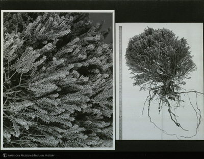 http://lbry-web-002.amnh.org/san/mo_exhibition/ppc_533_b13_f276_011.jpg