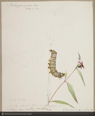 http://lbry-web-002.amnh.org/san/to_upload/titianbutterflies/b1179161_36.jpg