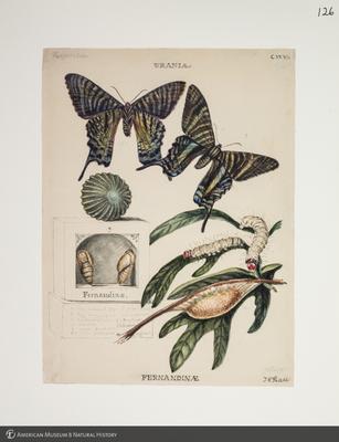 http://lbry-web-002.amnh.org/san/to_upload/titianbutterflies/b1083009_127.jpg