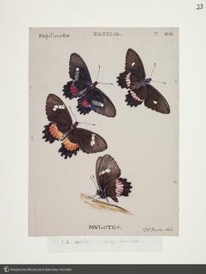 http://lbry-web-002.amnh.org/san/to_upload/titianbutterflies/b1083009_23.jpg