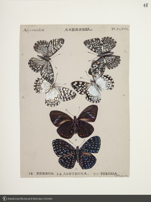http://lbry-web-002.amnh.org/san/to_upload/titianbutterflies/b1083009_50.jpg