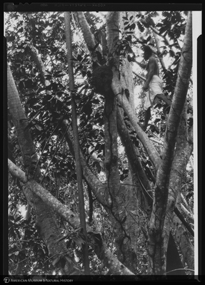 http://lbry-web-002.amnh.org/san/to_upload/Beck-PapuaNewGuinea/NG-5x7-negs/115685.jpg