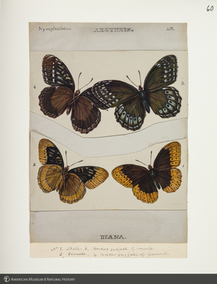 http://lbry-web-002.amnh.org/san/to_upload/titianbutterflies/b1083009_66.jpg