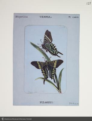 http://lbry-web-002.amnh.org/san/to_upload/titianbutterflies/b1083009_128.jpg