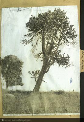 http://lbry-web-002.amnh.org/san/mo_exhibition/ppc_532_b25_f229_017.jpg