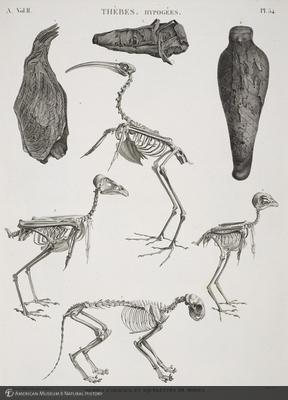 http://lbry-web-002.amnh.org/san/naturalhistories/b11818153_4.jpg