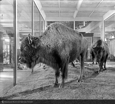 http://images.library.amnh.org/d/t/8x10/0001/00033933_l.jpg