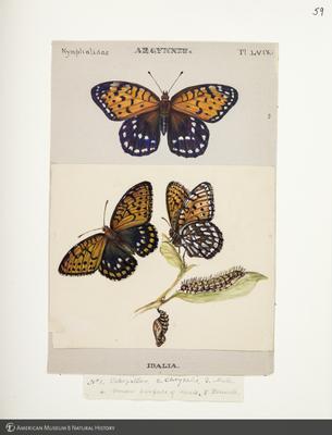 http://lbry-web-002.amnh.org/san/to_upload/titianbutterflies/b1083009_63.jpg