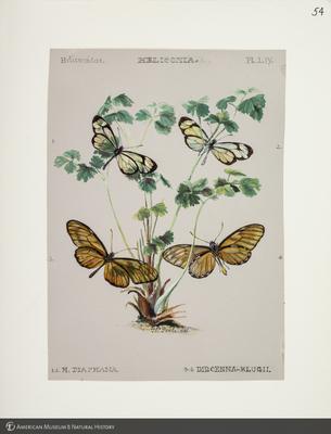 http://lbry-web-002.amnh.org/san/to_upload/titianbutterflies/b1083009_56.jpg