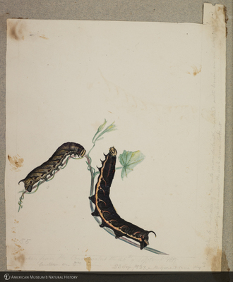http://lbry-web-002.amnh.org/san/to_upload/titianbutterflies/b1179161_19.jpg