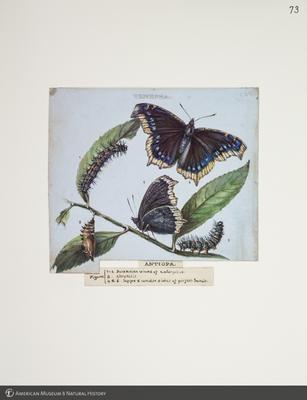 http://lbry-web-002.amnh.org/san/to_upload/titianbutterflies/b1083009_76.jpg