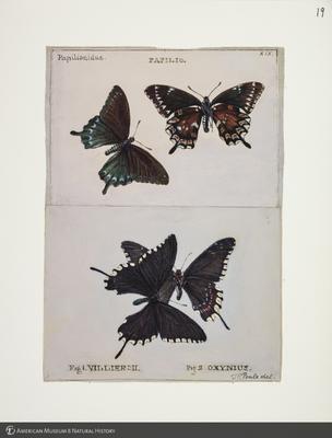 http://lbry-web-002.amnh.org/san/to_upload/titianbutterflies/b1083009_19.jpg