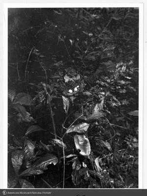 http://lbry-web-002.amnh.org/san/to_upload/Beck-PapuaNewGuinea/NG-5x7-prints/115587.jpg