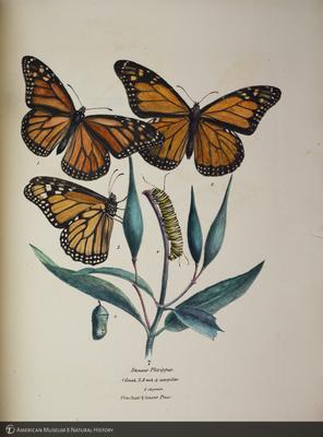 http://lbry-web-002.amnh.org/san/to_upload/titianbutterflies/b1140549_26.jpg