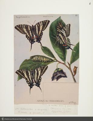 http://lbry-web-002.amnh.org/san/to_upload/titianbutterflies/b1083009_5.jpg