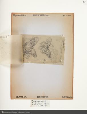 http://lbry-web-002.amnh.org/san/to_upload/titianbutterflies/b1083009_61.jpg