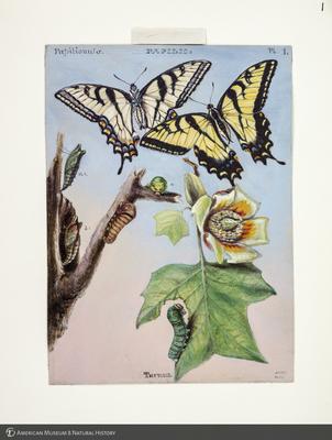 http://lbry-web-002.amnh.org/san/to_upload/titianbutterflies/b1083009.jpg