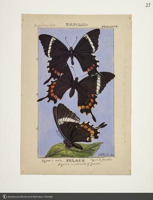 http://lbry-web-002.amnh.org/san/to_upload/titianbutterflies/b1083009_28.jpg