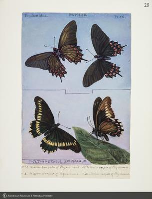 http://lbry-web-002.amnh.org/san/to_upload/titianbutterflies/b1083009_20.jpg