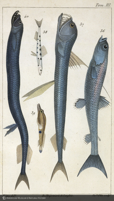 http://lbry-web-002.amnh.org/san/naturalhistories/b10468055_2.jpg