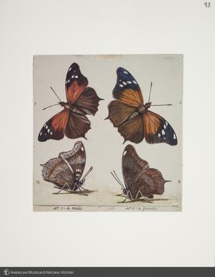 http://lbry-web-002.amnh.org/san/to_upload/titianbutterflies/b1083009_106.jpg