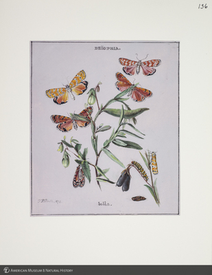 http://lbry-web-002.amnh.org/san/to_upload/titianbutterflies/b1083009_139.jpg